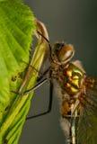 Libellula quadrimaculata 库存图片