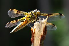 Libellula quadrimaculata stockfoto