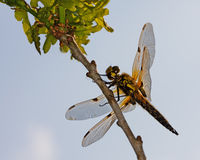 Libellula quadrimaculata dragonfly high in the sky Royalty Free Stock Image