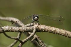 libellula Quattro-macchiata dell'intercettore Immagini Stock Libere da Diritti