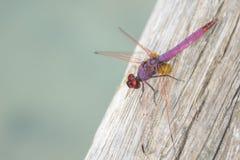 Libellula rosa su legno Priorità bassa animale immagini stock