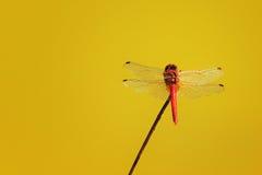 Libellula rossa fotografia stock libera da diritti