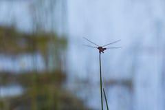 Libellula rossa della bisaccia che prepara per il decollo Fotografie Stock Libere da Diritti