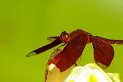 Libellula rossa sul fiore Fotografia Stock