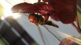 Libellula rossa sull'albero rosso fotografia stock libera da diritti