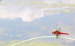 Libellula rossa sulla foglia Fotografia Stock