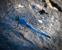 Libellula a strisce blu con la testa di verde Immagini Stock