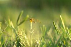 Libellula su erba Fotografie Stock