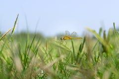 Libellula su erba Fotografia Stock Libera da Diritti