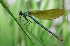 Libellula su un'erba verde Fotografie Stock Libere da Diritti