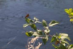 Libellula su un ramo con il fondo dell'acqua Fotografie Stock