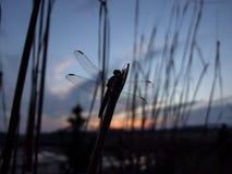 Libellula su un ramo durante il tramonto fotografia stock