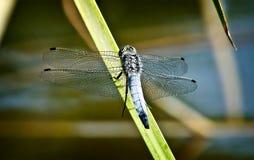 Libellula   su una lama di erba dal lago. Fotografie Stock