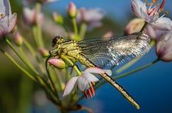 Libellula su una libellula del dito su un fiore fotografia stock libera da diritti