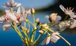 Libellula su una libellula del dito su un fiore immagine stock