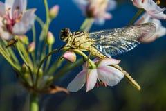Libellula su una libellula del dito su un fiore fotografie stock
