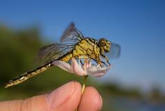 Libellula su una libellula del dito su un fiore immagini stock