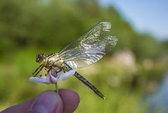 Libellula su una libellula del dito su un fiore fotografie stock libere da diritti