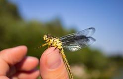 Libellula su una libellula del dito su un fiore fotografia stock