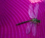 Libellula su una libellula del dito su un fiore immagini stock libere da diritti