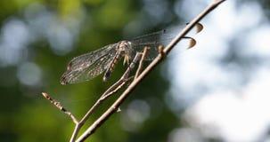 Libellula sul ramoscello Cloae su video d archivio
