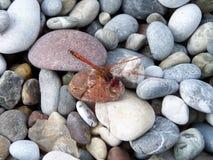 Libellula sulle pietre Fotografie Stock Libere da Diritti