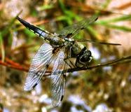 libellula szeroki łowcy depressa libellula Obraz Stock