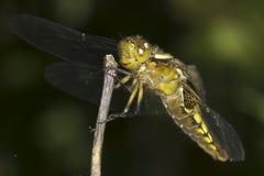 libellula Vasto-bodied dell'intercettore, femmina/depressa di Libellula fotografia stock