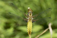 libellula Vasto-bodied dell'intercettore, femmina/depressa di Libellula immagini stock libere da diritti