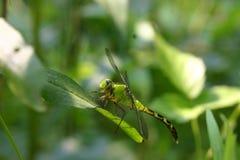 Libellula verde Fotografia Stock