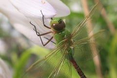 Libellula verde comune di Darner fotografia stock