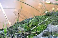 Libellula verde - hawke del sud - femmina che ovipositing - porre eggs immagini stock