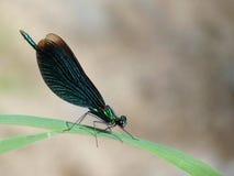Libellula - verde scuro Immagini Stock