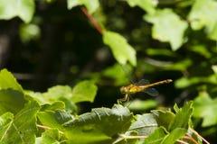 Libellula a zampe gialle femminile di Meadowhawk su all'estremità della foglia Immagine Stock Libera da Diritti