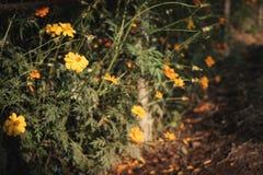 Libellule étée perché sur un jaune de cosmos de fleur Photos libres de droits