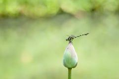 Libellule étroite avec des fleurs de nénuphar Photo stock