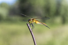 libellule au repos Photographie stock