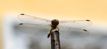 Libellule avec de grandes belles ailes Photo d'insecte Photo stock