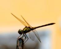 Libellule avec de grandes belles ailes Photo d'insecte Image stock