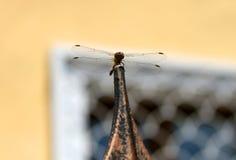 Libellule avec de grandes belles ailes Photo d'insecte Photographie stock libre de droits