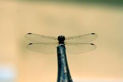 Libellule avec de grandes belles ailes Photo d'insecte Images stock