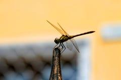 Libellule avec de grandes belles ailes Photo d'insecte Images libres de droits