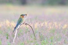 libellule Bleu-coupée la queue de prise d'Abeille-mangeur dans la bouche sur les branches en bambou sèches image stock