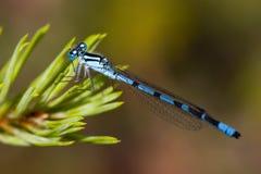 Libellule bleue Photographie stock libre de droits