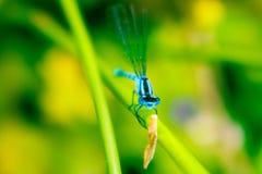 Libellule bleue Photos stock