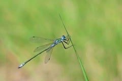 Libellule bleue Photo libre de droits