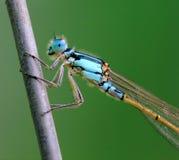 Libellule bleue Images libres de droits