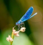 Libellule bleue Image stock