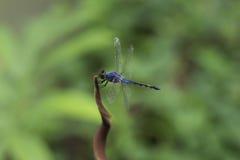 Libellule bleue Photographie stock