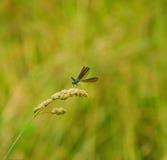 Libellule bleue Images stock